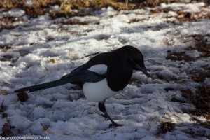 magpie_bird (1 of 1)