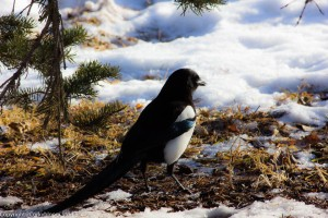 magpie_bird_2 (1 of 1)