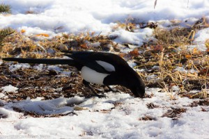 magpie_bird_3 (1 of 1)