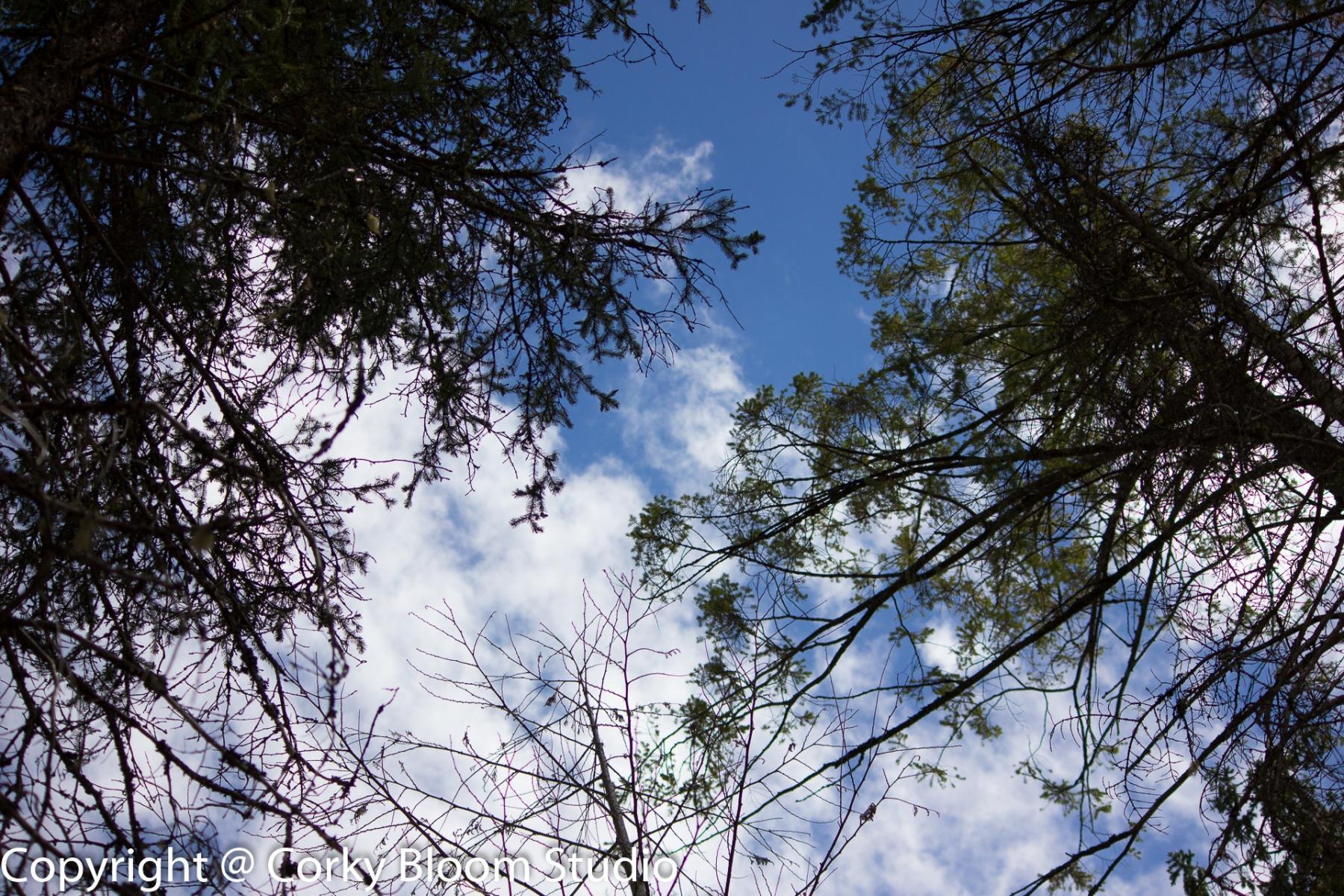 Looking up at BC Sky
